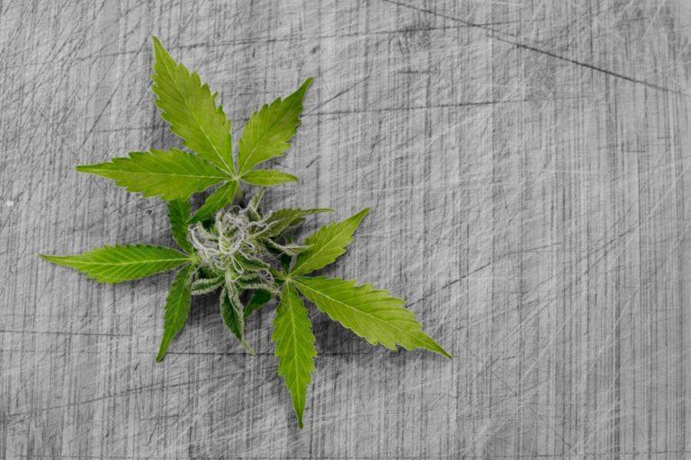 Dbaj o sadzonkę konopi aby wyhodować zdrową roślinę